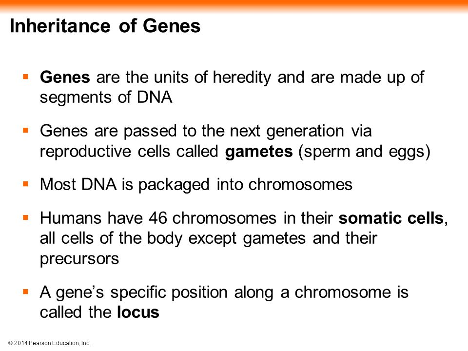 Inheritance of Genes Genes are the units of heredity and are made up of segments of DNA.