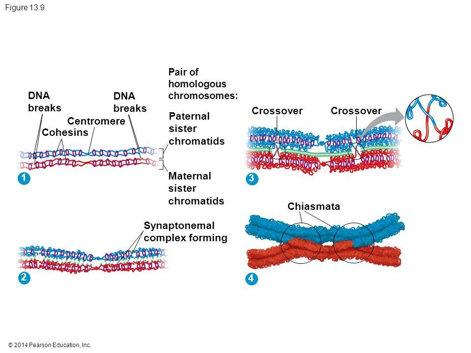 DNA breaks DNA breaks Crossover Crossover Paternal sister chromatids