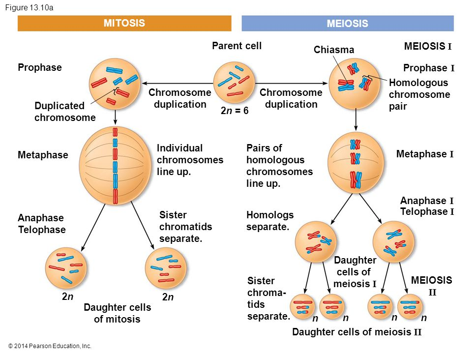 Daughter cells of meiosis II