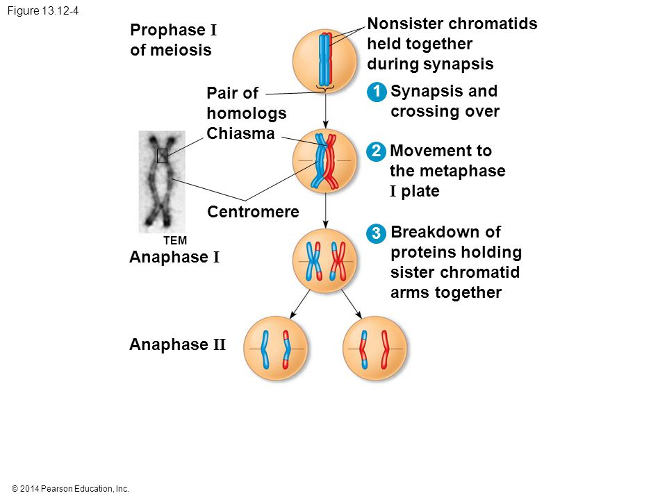 Nonsister chromatids held together during synapsis Prophase I