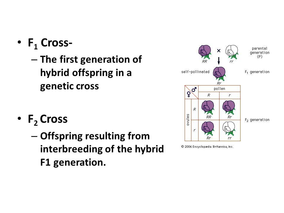 F1 Cross- The first generation of hybrid offspring in a genetic cross. F2 Cross.