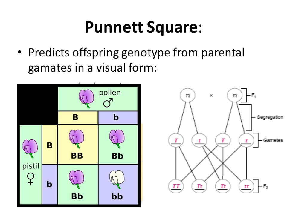 Punnett Square: Predicts offspring genotype from parental gamates in a visual form: