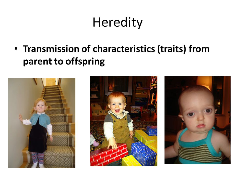 Heredity Transmission of characteristics (traits) from parent to offspring