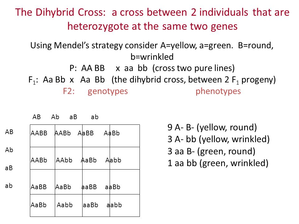 The Dihybrid Cross: a cross between 2 individuals that are heterozygote at the same two genes