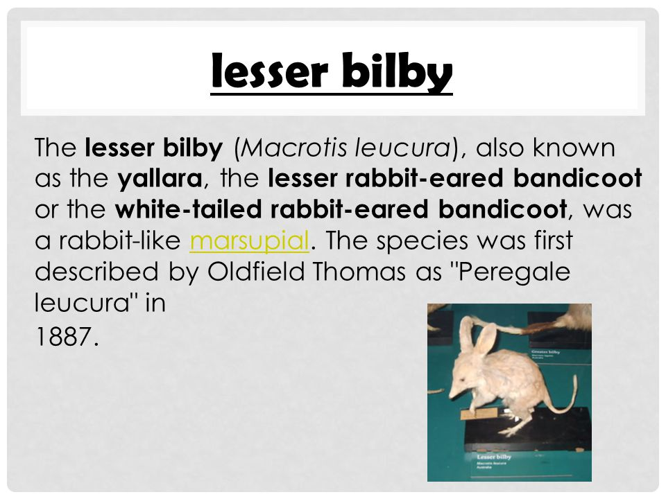 lesser bilby