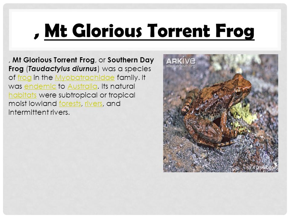 , Mt Glorious Torrent Frog