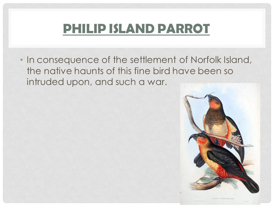 Philip Island Parrot