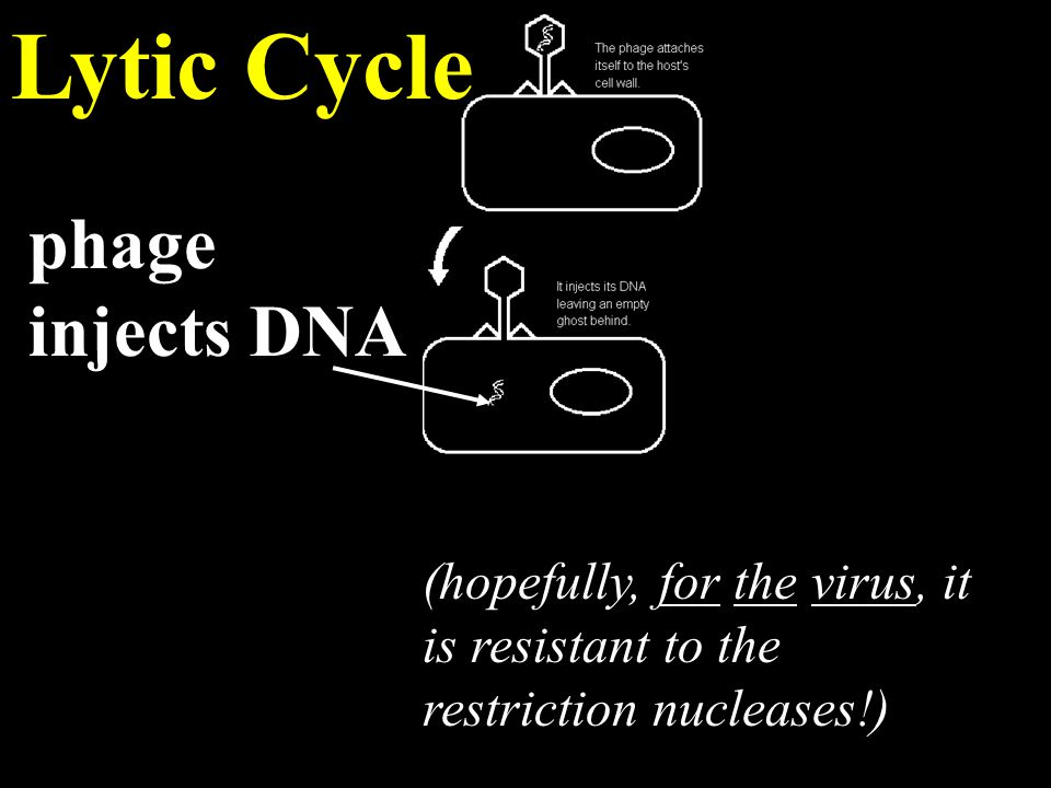 Lytic Cycle phage injects DNA