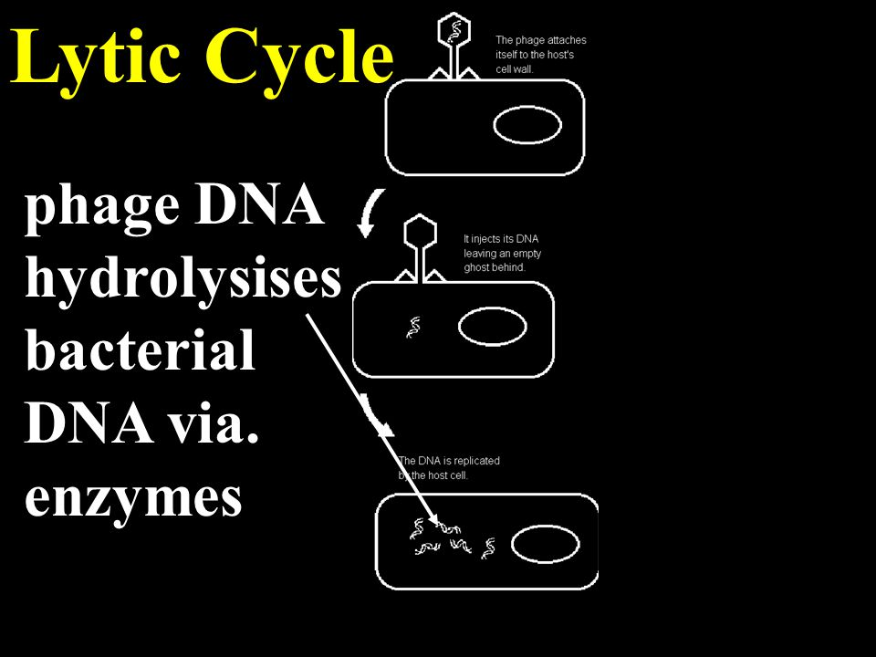 Lytic Cycle phage DNA hydrolysises bacterial DNA via. enzymes