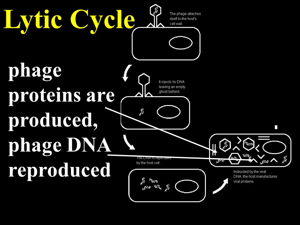 Lytic Cycle phage proteins are produced, phage DNA reproduced