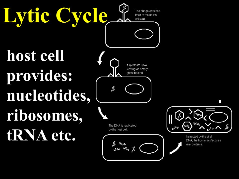 Lytic Cycle host cell provides: nucleotides, ribosomes, tRNA etc.