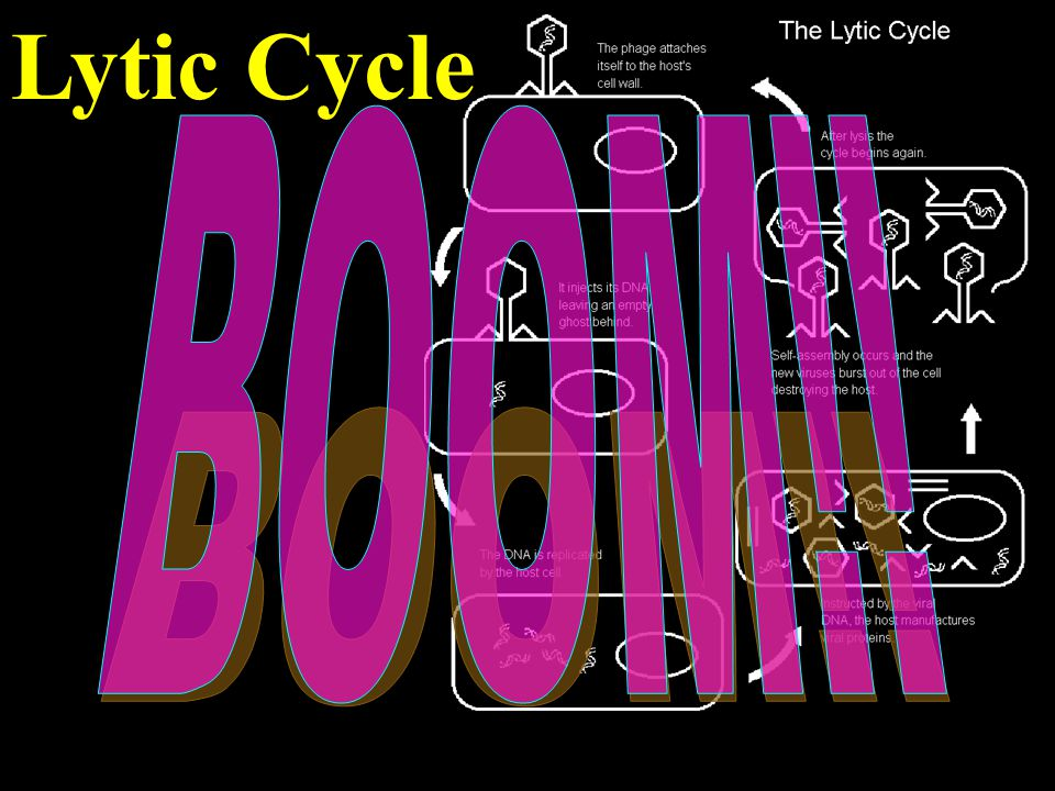 Lytic Cycle BOOM!!