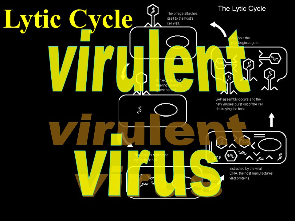 Lytic Cycle virulent virus