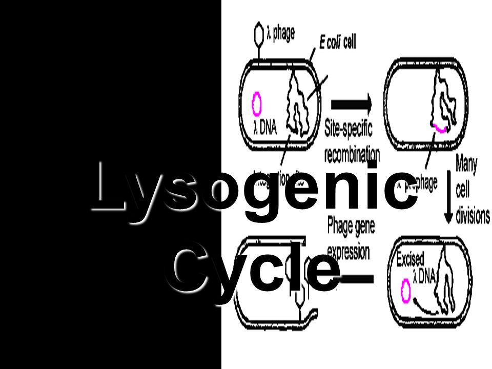 Lysogenic Cycle