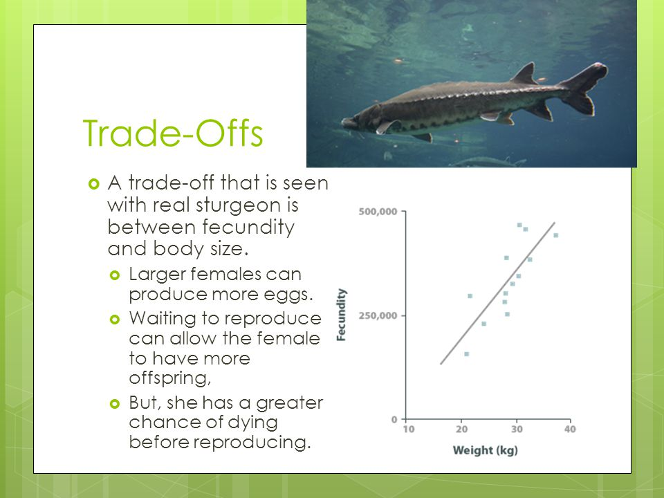 Trade-Offs A trade-off that is seen with real sturgeon is between fecundity and body size. Larger females can produce more eggs.