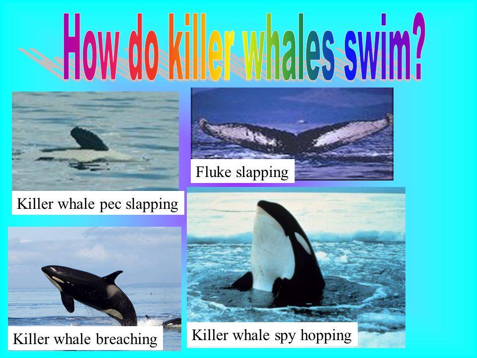 How do killer whales swim