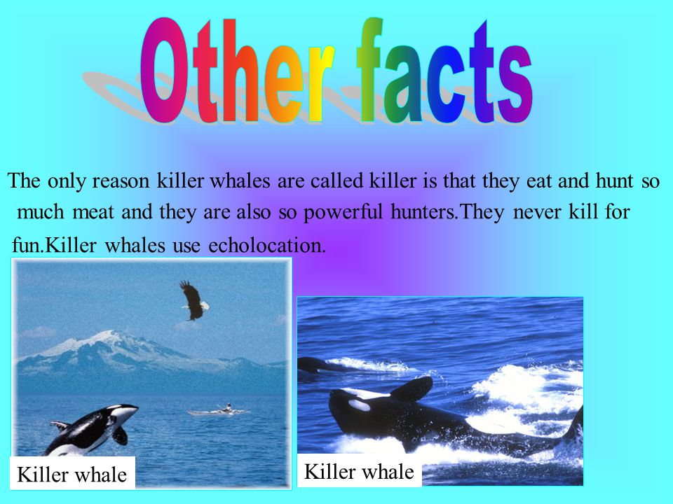 Other facts The only reason killer whales are called killer is that they eat and hunt so.