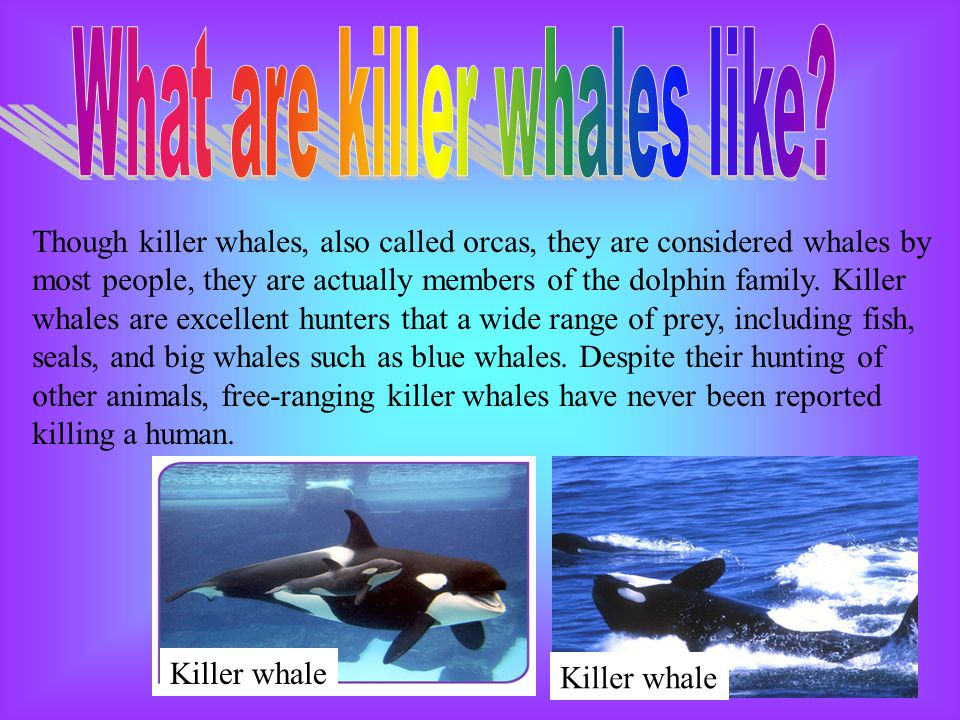 What are killer whales like