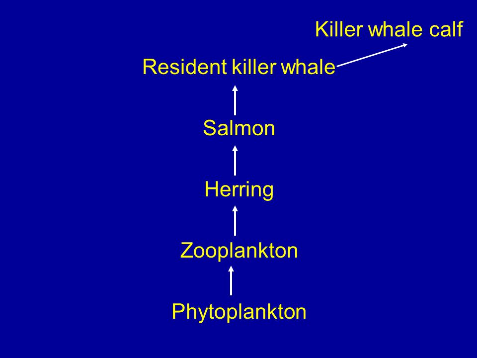 Killer whale calf Resident killer whale Salmon Herring Zooplankton Phytoplankton