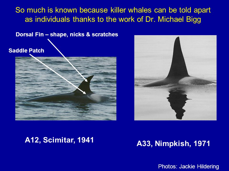 So much is known because killer whales can be told apart as individuals thanks to the work of Dr. Michael Bigg