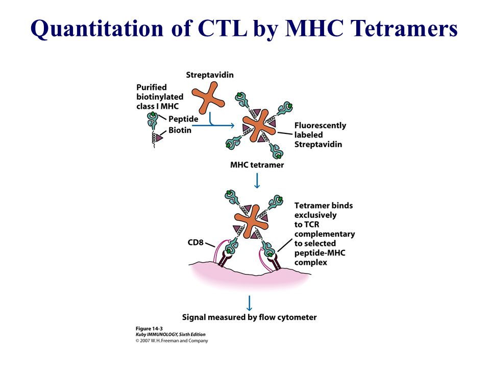 Quantitation of CTL by MHC Tetramers