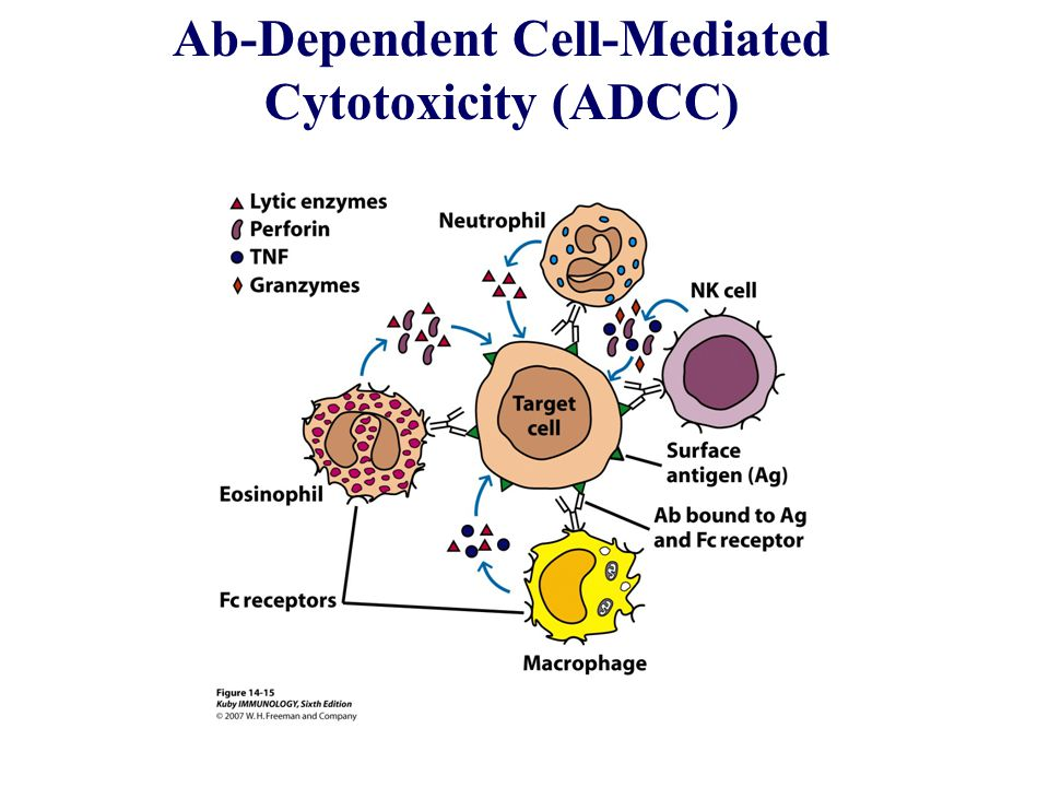 Ab-Dependent Cell-Mediated
