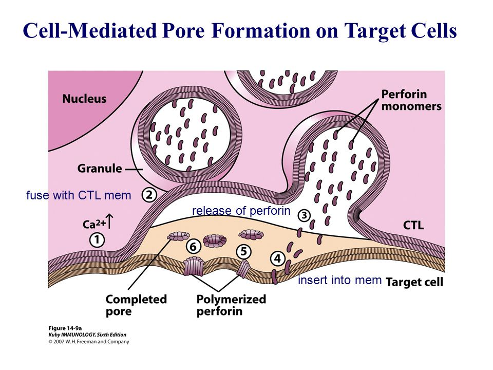 Cell-Mediated Pore Formation on Target Cells
