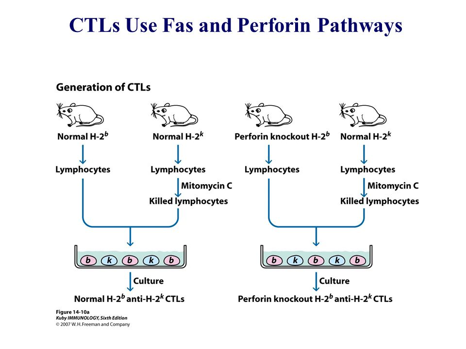 CTLs Use Fas and Perforin Pathways