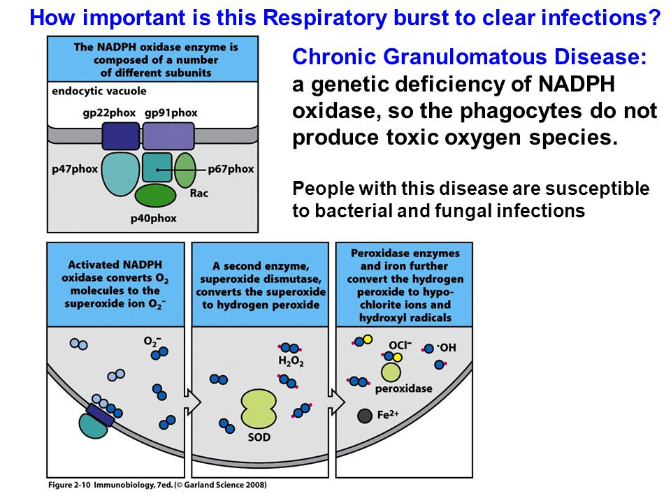 How important is this Respiratory burst to clear infections