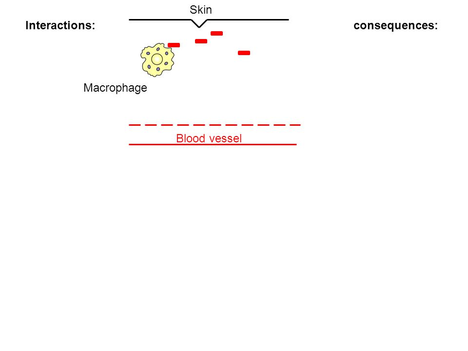 Skin Interactions: consequences: Macrophage Blood vessel