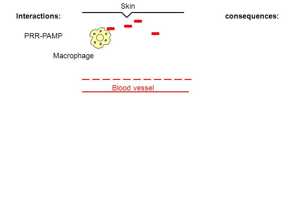 Skin Interactions: consequences: PRR-PAMP Macrophage Blood vessel
