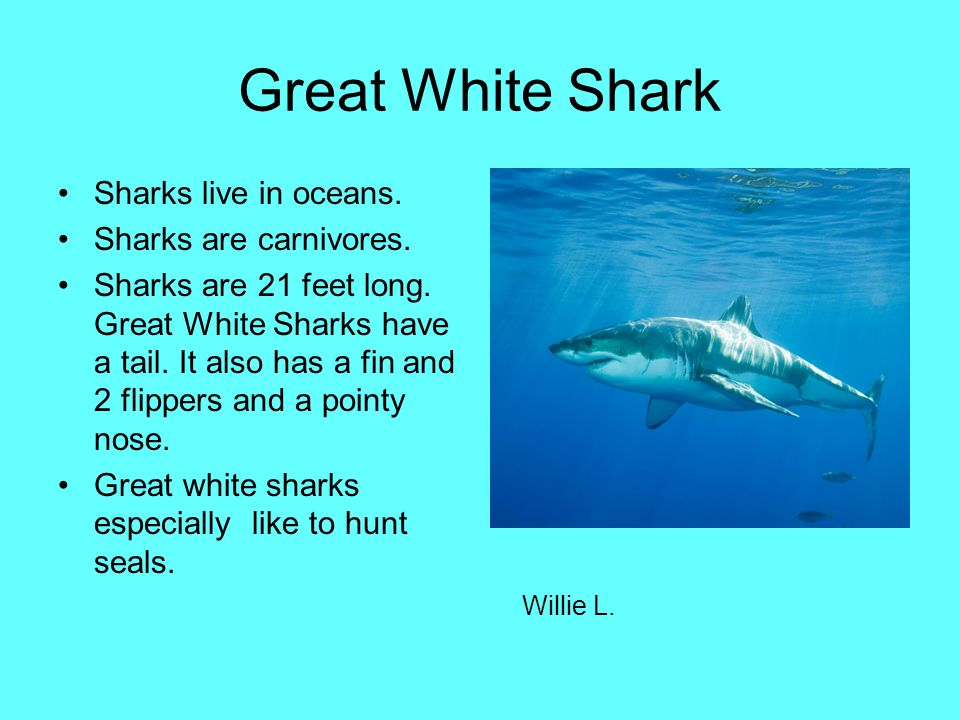 Great White Shark Sharks live in oceans. Sharks are carnivores.