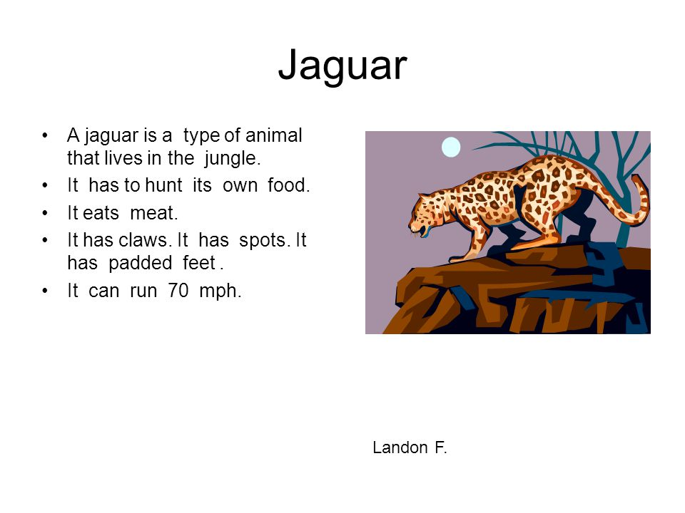 Jaguar A jaguar is a type of animal that lives in the jungle.