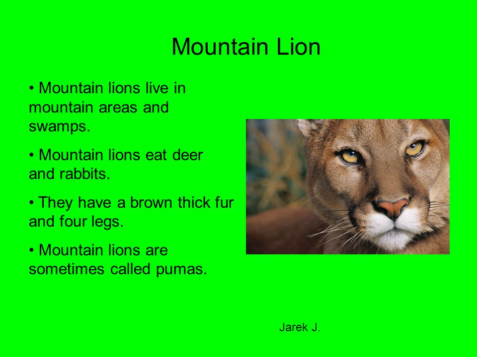 Mountain Lion Mountain lions live in mountain areas and swamps.