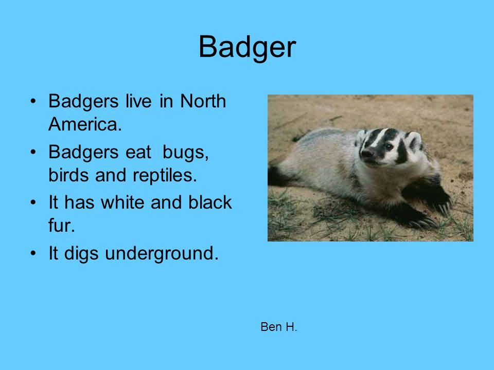 Badger Badgers live in North America.