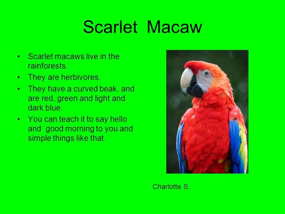 Scarlet Macaw Scarlet macaws live in the rainforests.