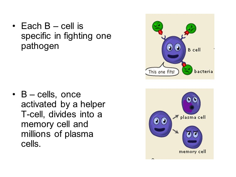 Each B – cell is specific in fighting one pathogen
