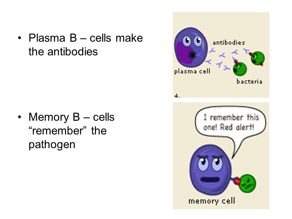Plasma B – cells make the antibodies