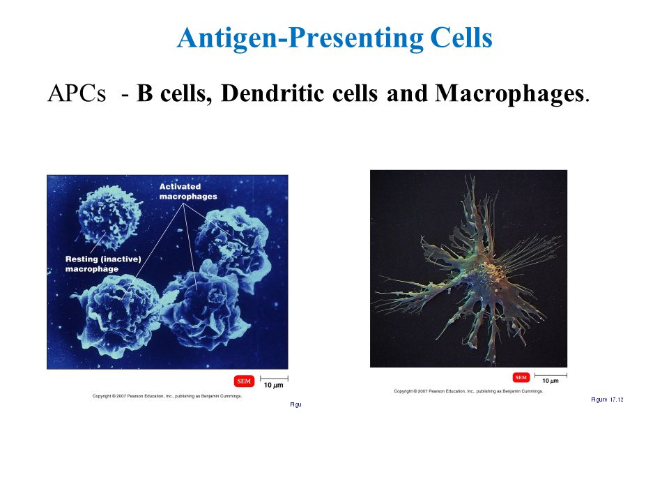 Antigen-Presenting Cells