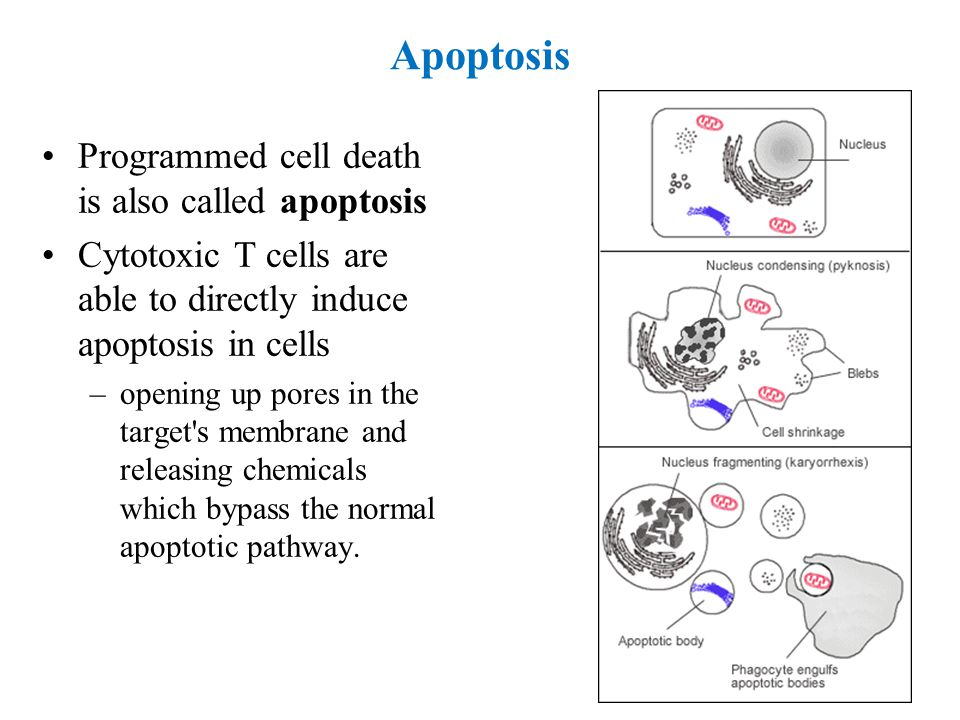 Apoptosis Programmed cell death is also called apoptosis