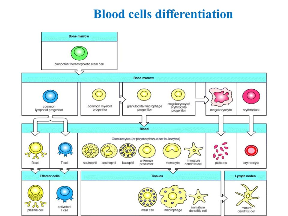 Blood cells differentiation