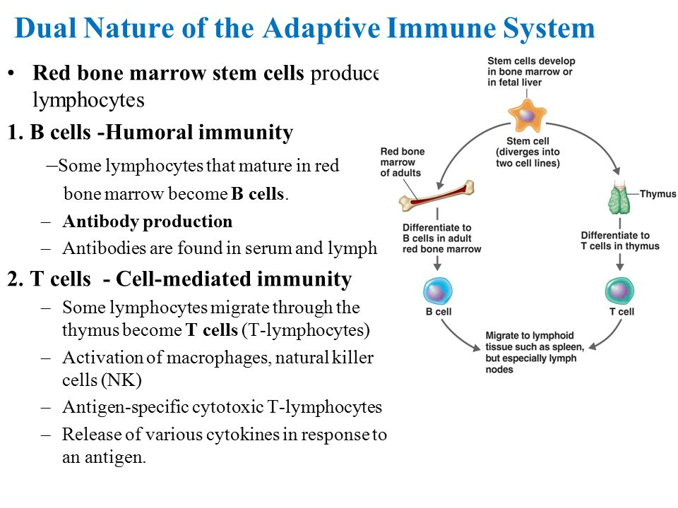 Dual Nature of the Adaptive Immune System