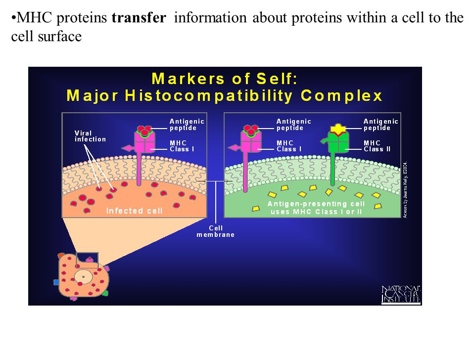 MHC proteins transfer information about proteins within a cell to the cell surface