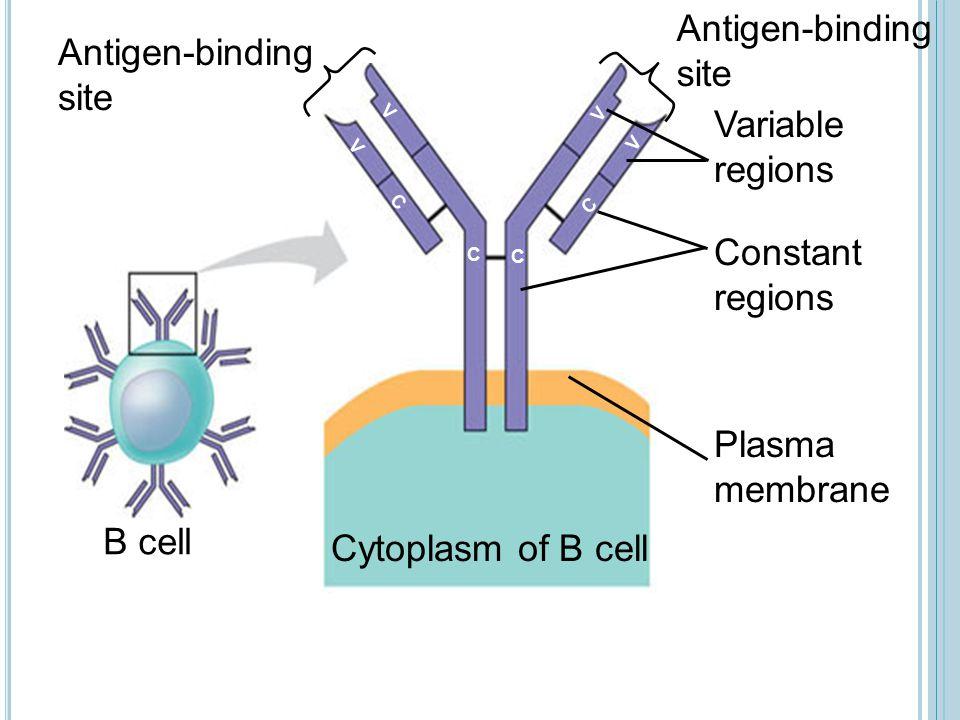 Antigen-binding site Antigen-binding site Variable regions Constant