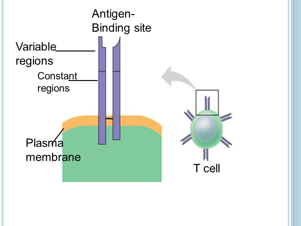 Antigen- Binding site Variable regions Plasma membrane T cell Constant