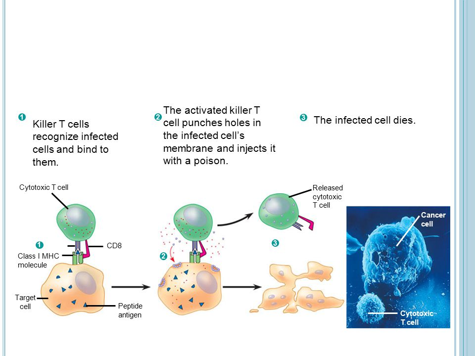 Killer T cells recognize infected cells and bind to them.