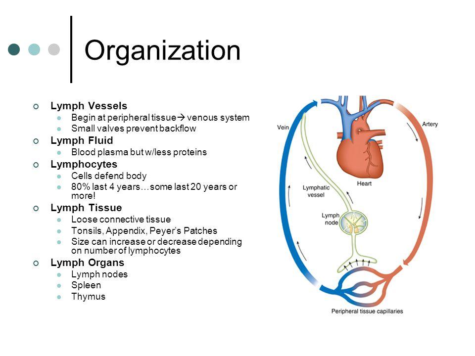 Organization Lymph Vessels Lymph Fluid Lymphocytes Lymph Tissue