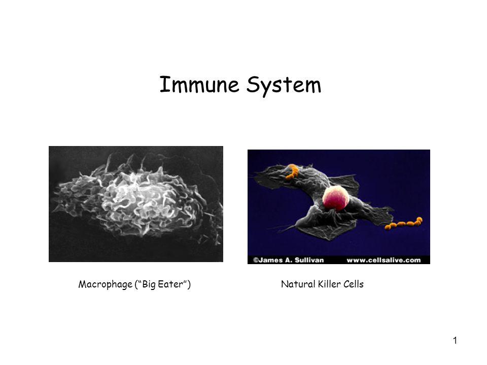 Immune System Macrophage ( Big Eater ) Natural Killer Cells