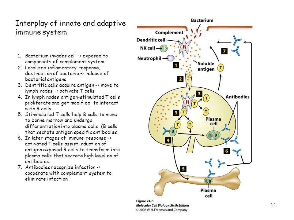 Interplay of innate and adaptive immune system