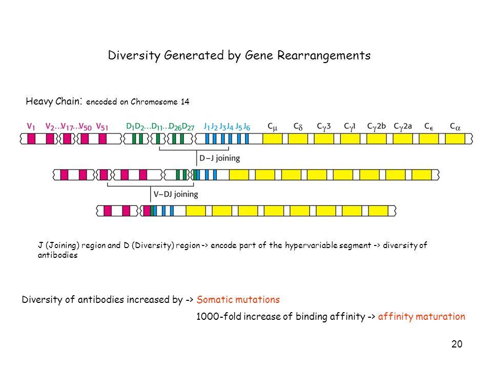 Diversity Generated by Gene Rearrangements